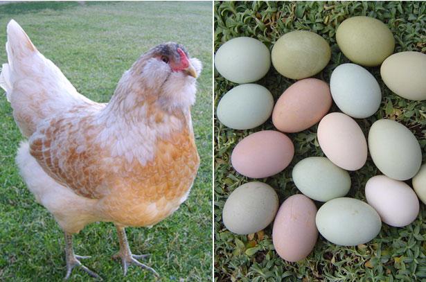 Амераукана и ее яйца