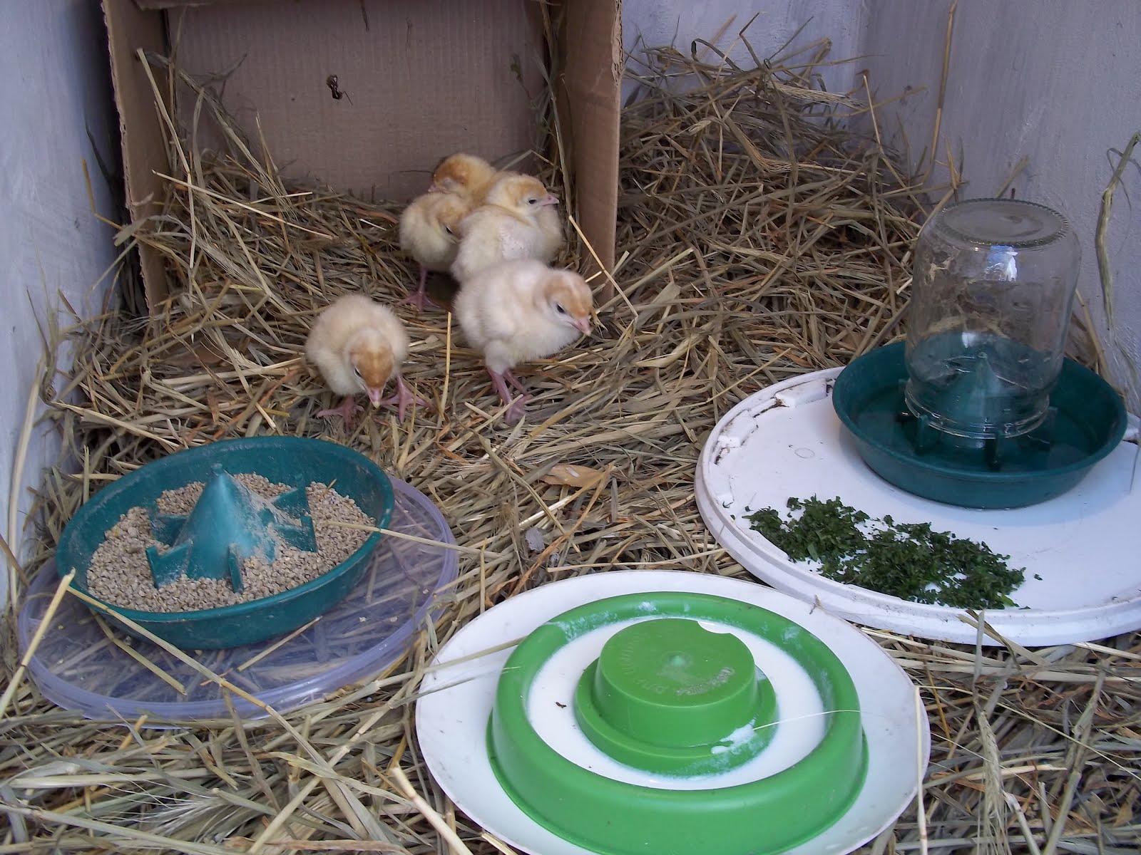Как кормить индюков в 2 месяца в домашних условиях