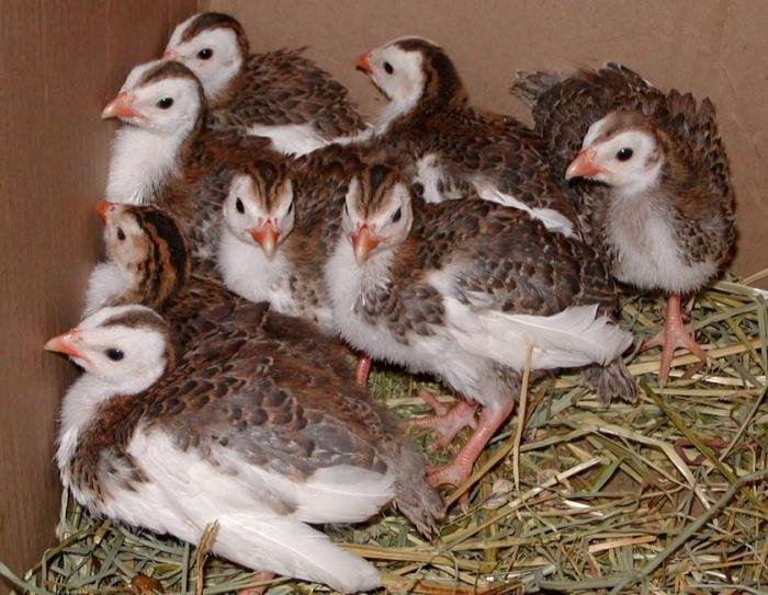 Цыплятам 2 недели