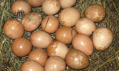 Яйца цесарки