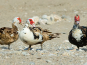 Коричнево-белые мускусные утки