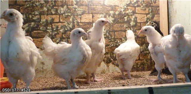 Орпингтон белый - цыплята