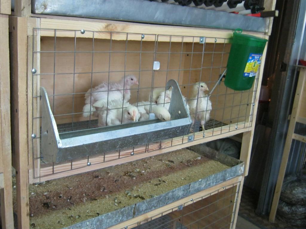 Содержание бройлерных цыплят