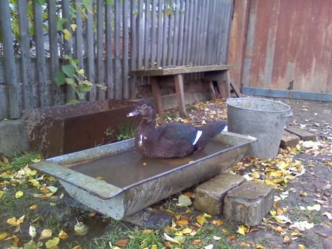 Утка в корыте с водой