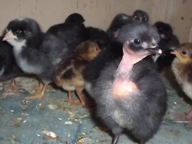 Цыплята голошейной породы