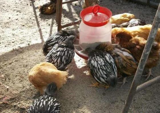 Цыплята Виандот