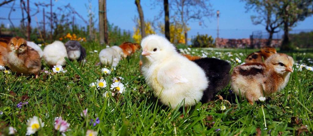 Доминант цыплята