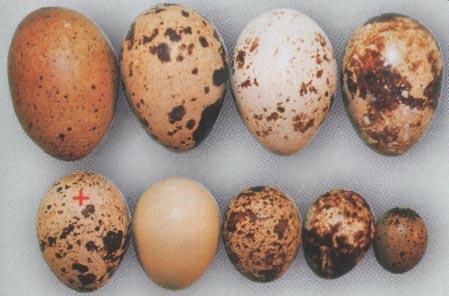 Яйца перепела