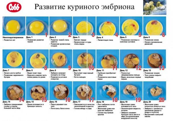 Развитие куриного эмбриона