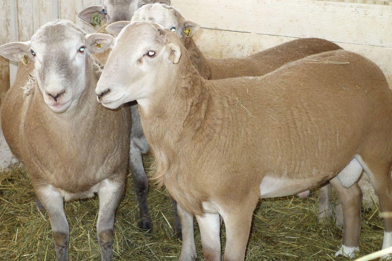 Мясные овцы: какую породу выбрать
