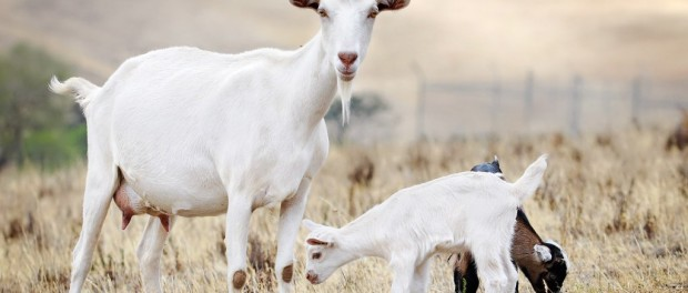 Коза с козлята