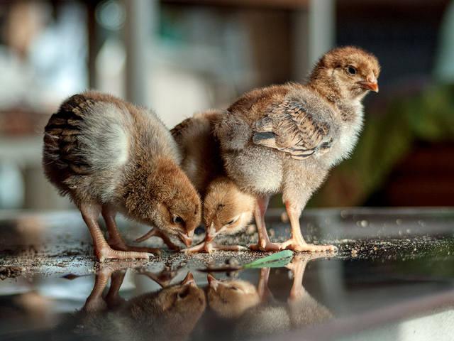 Цыплята породы Кучинская юбилейная