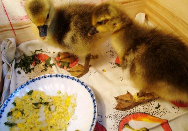 Как кормить гусят в домашних условиях