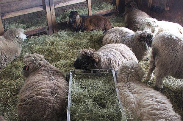 Овцы в стойле на сене