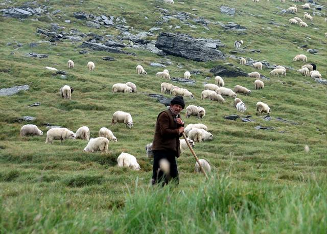 Пастух для овец