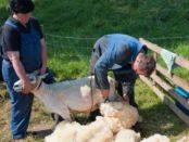 Стрижка баранов и овец