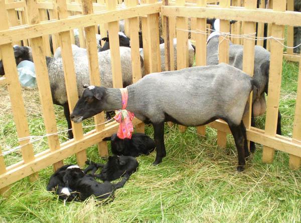 Загон для овцематок