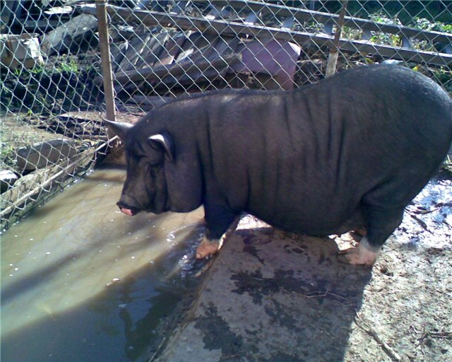 Бассейн для свиньи