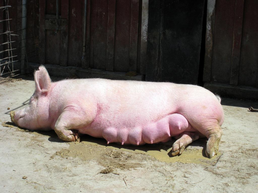 beremennaja-svinja.jpg