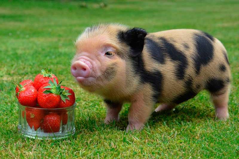 Яванская дикая свинья