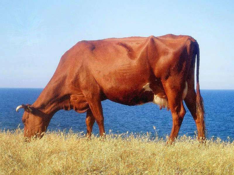 Красная степная корова