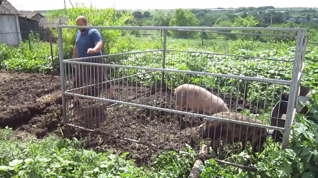По словам министра геннадия демченко, семейная свиноферма села заволжье обеспечивает молодняком весь приволжский район