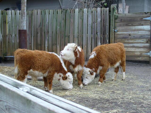 Мини коровы