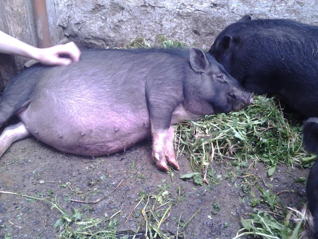 Молодая свинка
