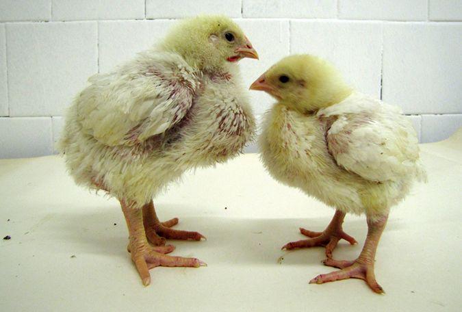 Несварение у цыплят