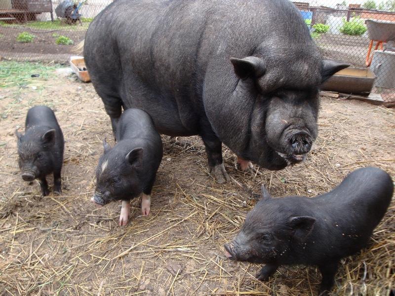 Поросята и свиноматка