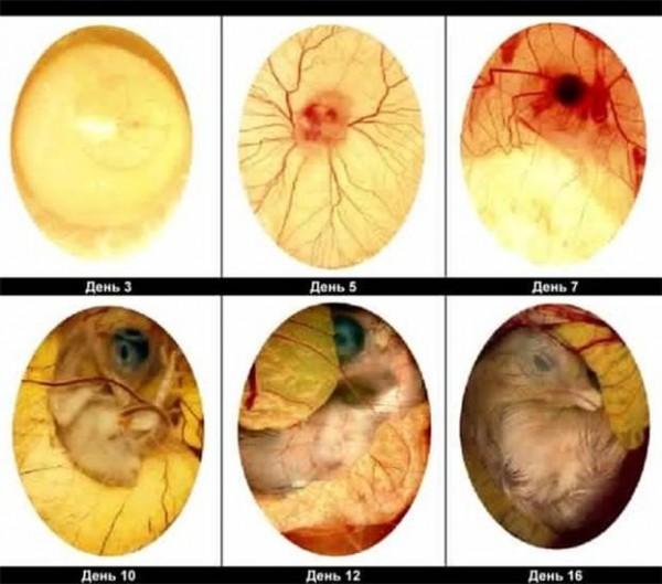 Этапы развития зародыша