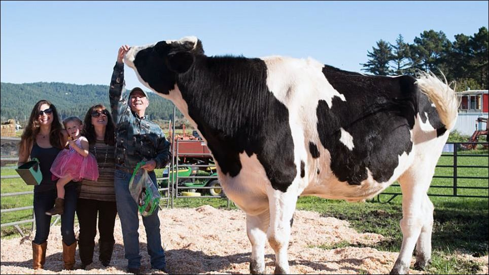 Самый большой бык