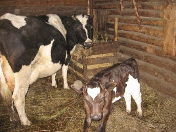 Стойло для коровы с теленком