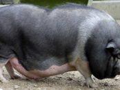 Свинья из Вьетнама