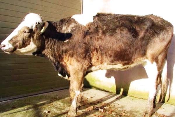 Бруцеллез у коровы