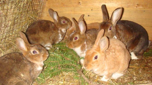 Ветки хвойных для кролей в рационе