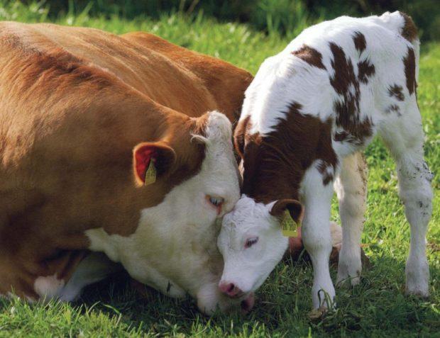 теленок с мамой