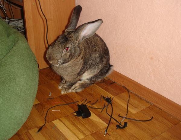 Кролик и провода - несовместимые предметы