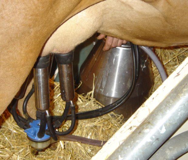 Машинное доение коровы