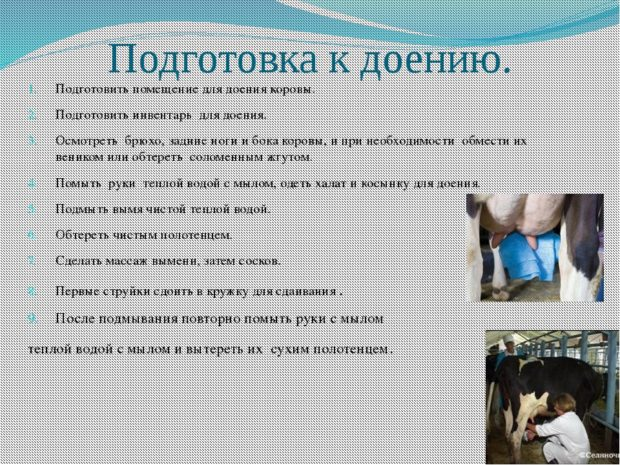 Подготовка коровы к дойке - правила