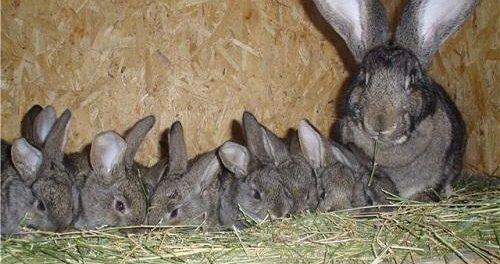 Сено в клетке у кроликов