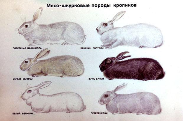 Мясо-шкурные породы кролей