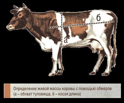 Обмер коровы
