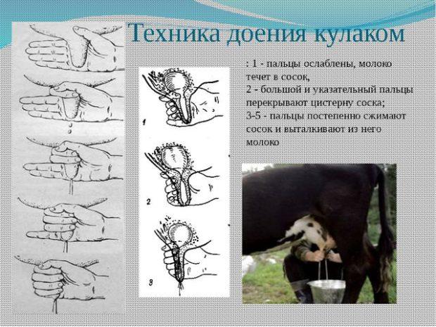 Техника доения коровы кулаком
