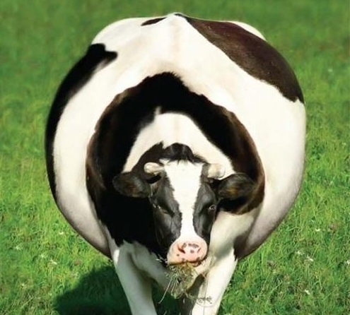Болезни коров и их лечение: бруцеллез, лептоспироз, лейкоз