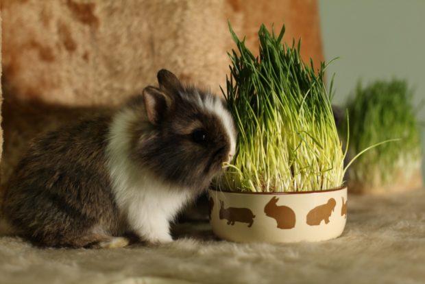 Выращивание травы для кроликов