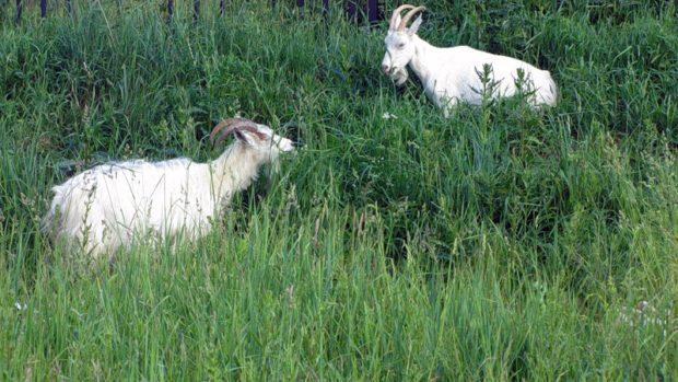 Выпас коз летом