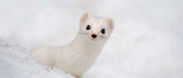 Белый хорек - очень красивое животное