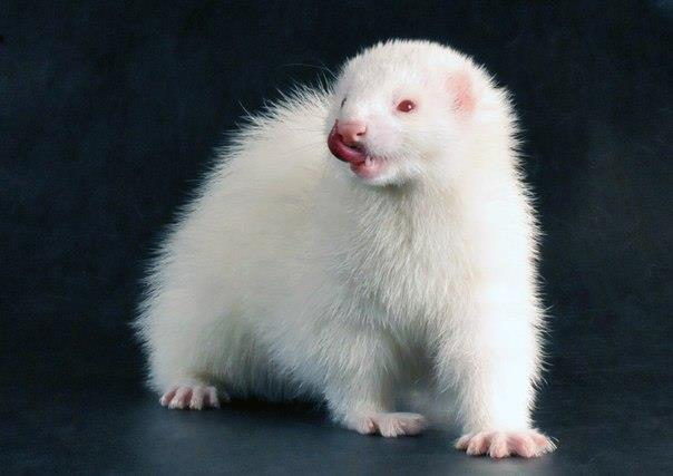 Хорек альбинос имеет красные глаза