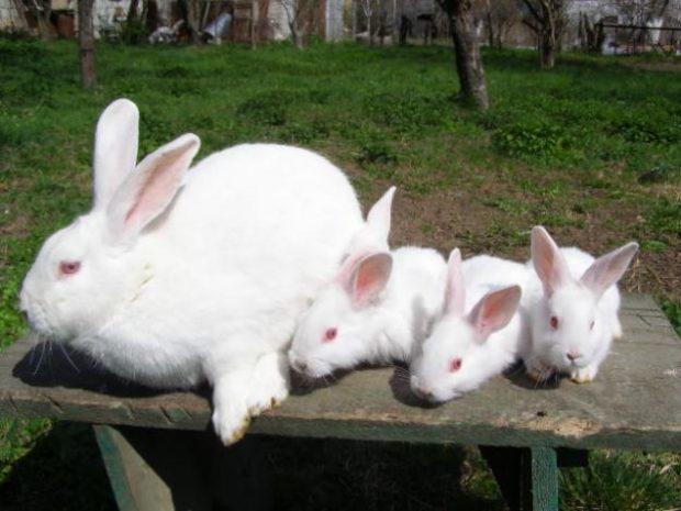 Белый великан с потомством - крольчатами